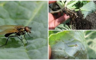 How to deal with a cabbage fly and its larvae