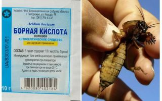 What to poison Medvedka in the garden