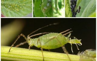 What does aphid look like?