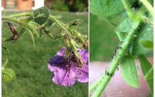How to deal with aphids on petunias folk and shopping means