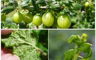 How to get rid of aphids on gooseberry