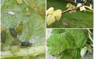 How to get rid of aphids on raspberries