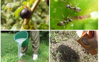 How to deal with ants and aphids on currants