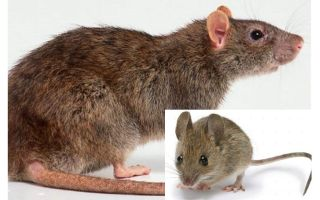 What is the difference between a mouse and a rat?