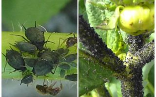 How to deal with black aphids on tomatoes and cucumbers