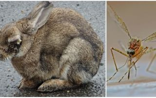 How to save rabbits from mosquitoes on the street and in the rabbitry