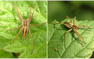 Description and photos of the spiders of the Saratov region