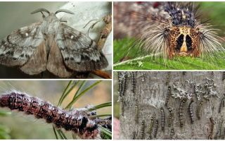 Description and photo of a caterpillar and butterfly of the Siberian silkworm