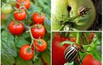 How to process tomatoes from the Colorado potato beetle