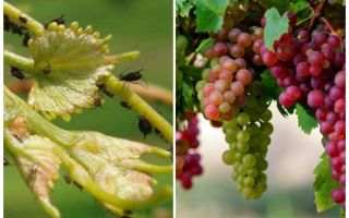 How to deal with aphids on grapes folk and shopping means