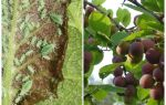 How and what to process aphids on plum