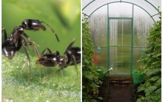 How to deal with ants in the greenhouse folk remedies