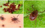 Description and photo of ixodic ticks
