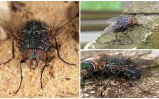 Description and photo of a blue meat fly