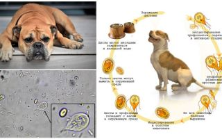 Symptoms and treatment of Giardia in dogs