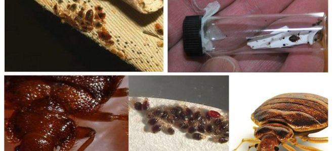 Everything about bed bugs