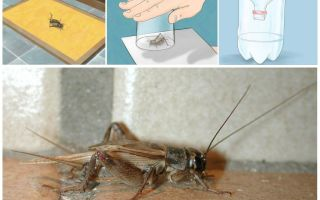 How to withdraw crickets from an apartment or house