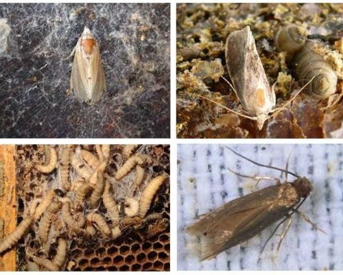 Wax moth - application in traditional medicine