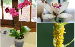 How to deal with aphids on orchids