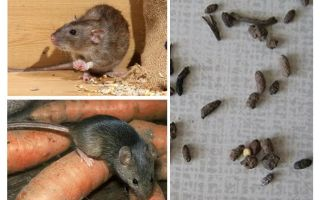 How to deal with rats in a private house