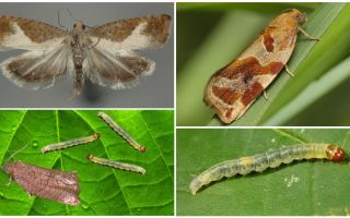 How to deal with leafworm on fruit trees