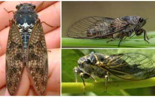 Description and photos of cicada flies