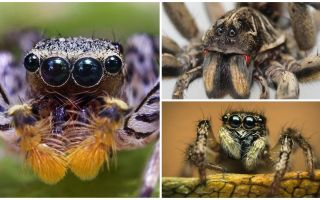 How many eyes does a spider have?
