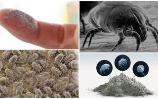 Description and photo of bed mites, how to get rid of them