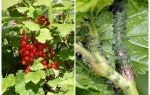 How to get rid of aphids on currants