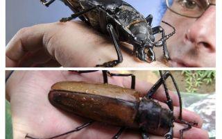 Titan woodcutter beetle