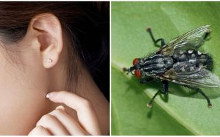 How to get a fly out of your ear at home