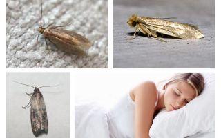What dreams moth