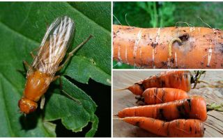 How to get rid of carrot flies