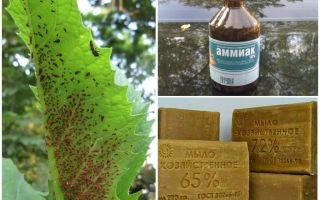 Calcium aphid - method of application and effectiveness