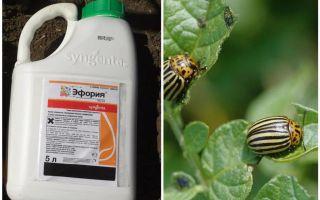 Means of Euphoria from the Colorado potato beetle