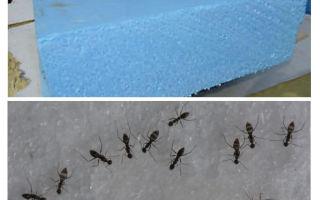 Ants, penoplex and foam