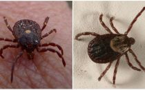 Photo and description of tick species