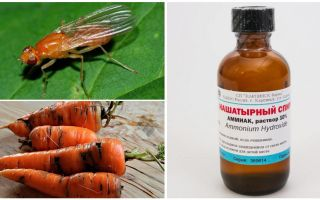 Fight against carrot fly with ammonia