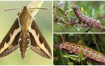 Description and photo of caterpillar wine hawk moth