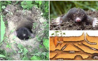 Description and photos of the mole mole
