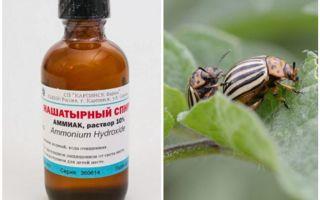 Ammonia against Colorado potato beetle