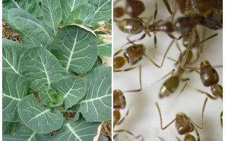 How to save cabbage from ants