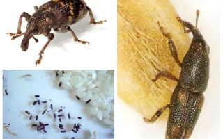 Rice weevil - a malicious pest of cereals