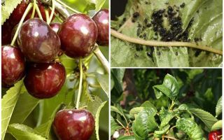 How to get rid of aphids on cherries and cherries