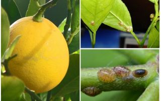 How to deal with the shield on a lemon