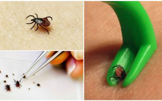 Where in Moscow to hand over a tick for analysis and where to turn if bitten by a tick