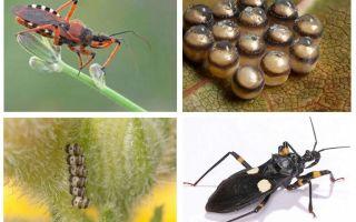 Bedbugs predators