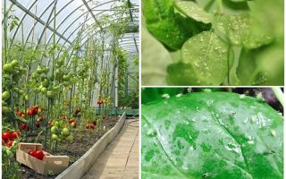 How to deal with aphids in the greenhouse