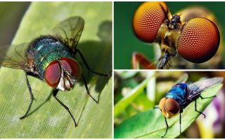 How many frames per second does a fly see and how many eyes does it have