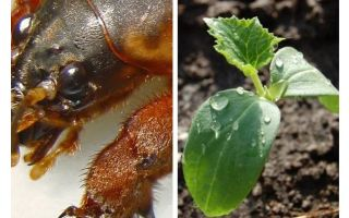 How to protect seedlings from Medvedka